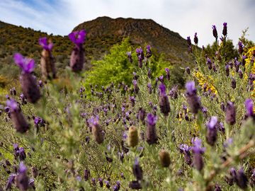 Lavender and in the background the lava dome of Kypseli on Methana peninsula. (Photo: Tobias Schorr)