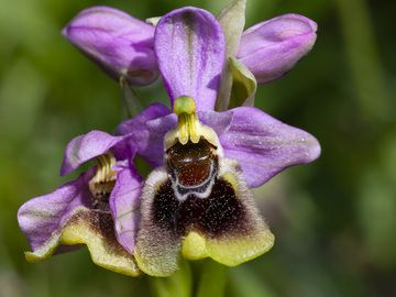 Wasp orchid (Ophrys tenthredinifera?) from Methana. (Photo: Tobias Schorr)