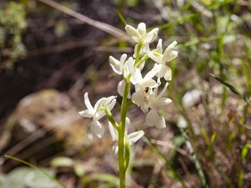 """The orchid """"orchis provincialis"""" from Methana. (Photo: Tobias Schorr)"""