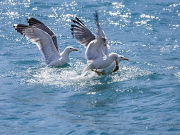 Seagulls catching fish at Poros island. (Photo: Tobias Schorr)