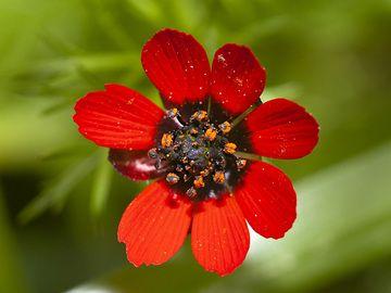 "A nice adonis ""rose"" (Adonis annua) from Psifta lake. (Photo: Tobias Schorr)"