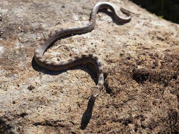 Mediterranean Cat Snake (poisoned) from the Varkesa high plain on Methana. (Photo: Tobias Schorr)