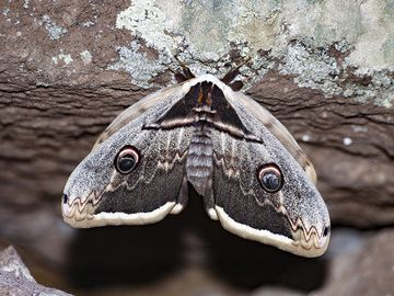 Giant peacock moth (Saturnia pyri)from a wall near the ancient acropolis of Methana, the Paliokastro. (Photo: Tobias Schorr)