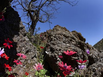 Anemones in the lava rocks of the historic volcano of Methana. (Photo: Tobias Schorr)