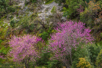 Dark pink blossoming Judas trees (Photo: Tom Pfeiffer)