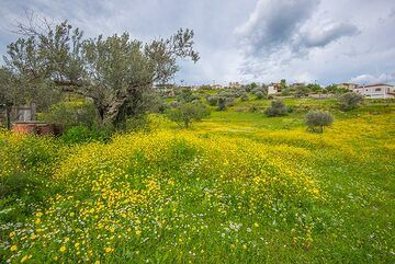 Olive trees and meadows (Photo: Tom Pfeiffer)