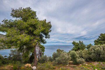 Pine tree (Photo: Tom Pfeiffer)