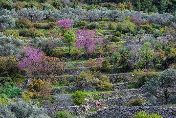 Olive terraces with Judas trees (Photo: Tom Pfeiffer)