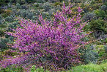 Judas tree (Photo: Tom Pfeiffer)