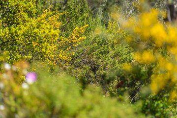 Yellow broom (Photo: Tom Pfeiffer)