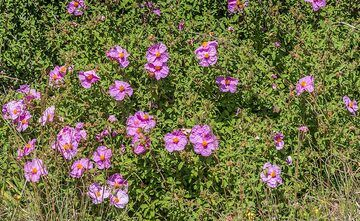 Pink flowers (Photo: Tom Pfeiffer)