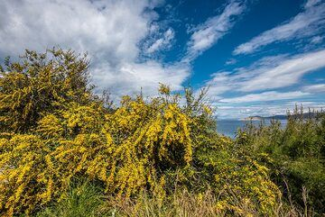 Yellow mimosa with the sea in the background (Photo: Tom Pfeiffer)