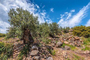 Olive tree (Photo: Tom Pfeiffer)