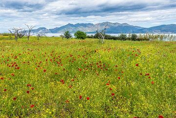 Meadow with scattered red poppies (Photo: Tom Pfeiffer)