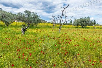 Meadow with red poppies and olive trees (Photo: Tom Pfeiffer)
