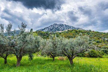 Olive trees (Photo: Tom Pfeiffer)