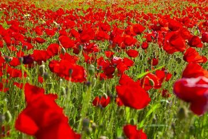Red poppies on a field near Adamas, Milos (Photo: Tom Pfeiffer)
