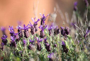 Lavender is an abundant plant in the macchia of Milos (Photo: Tom Pfeiffer)