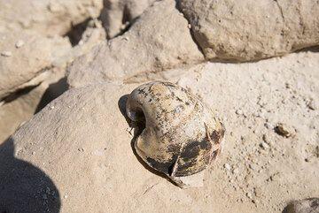 Fossil snail at Sarakiniko (Photo: Tom Pfeiffer)