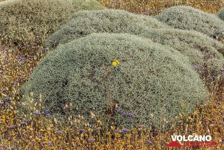 Cushions of wild thyme (Photo: Tom Pfeiffer)