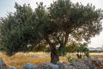 Olive tree in the warm evening light (Photo: Tom Pfeiffer)