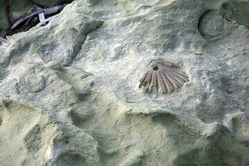 Fossile shell embedded in the uplifted submarine ash deposit (Photo: Tom Pfeiffer)