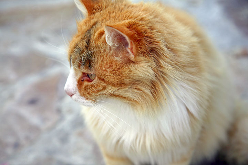Proud cat from Plaka (No-No) (Photo: Tom Pfeiffer)