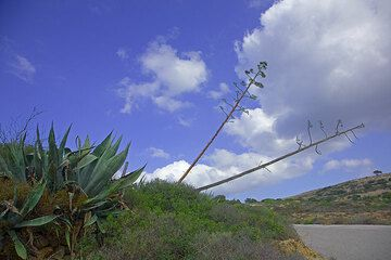 Agaves (Photo: Tom Pfeiffer)