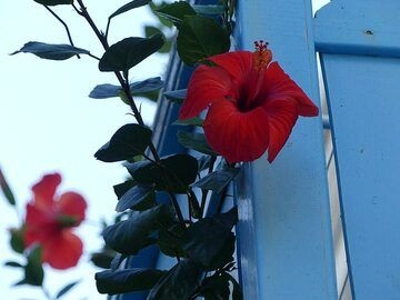 Red hibiscus flowers against a sky blue balcony (Photo: Ingrid Smet)