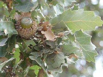 The volcano´s active caldera has many oak trees... (Photo: Ingrid Smet)
