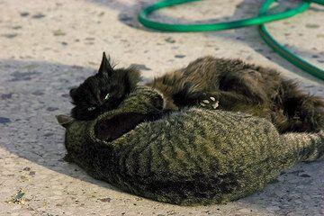 Zwei junge spielende Katzen (c)