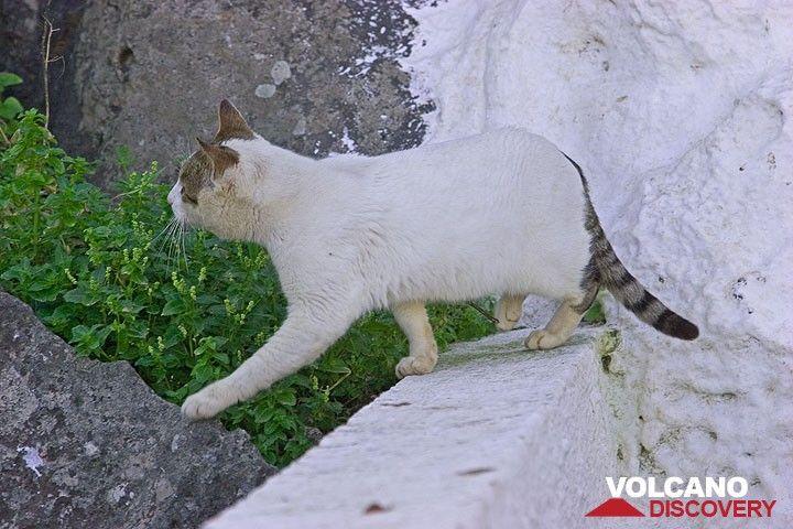 White cat in Mandraki, Nisyros (Photo: Tom Pfeiffer)