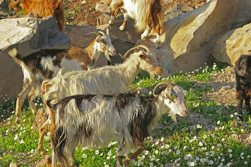 Goats enjoying springtime. (c)