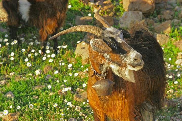 Goat portrait (c)