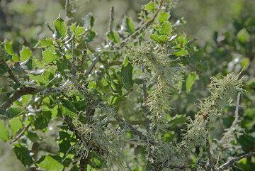 Green lychen. (c)