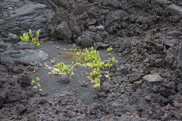 Life returns to the lava fields (Photo: Tom Pfeiffer)