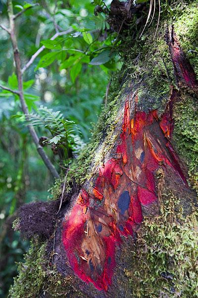Red bark of a tree (Photo: Tom Pfeiffer)