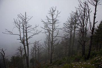 Trees in the fog on Acatenango (Photo: Tom Pfeiffer)