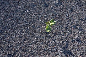 First plants already colonize the 2014 lapilli deposit. (Photo: Tom Pfeiffer)