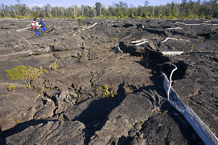 A pahoehoe lava flow from Kilauea volcano that has destroyed and replaced what was once dense rainforest forest, seen about 20 years later. Some large pieces of tree trunks that were not burnt (as they fell onto the already cooled surface of the flow) still lie around, but also small ferns and other pioneer plants show are present. However, it will still take many decades if not centuries for this land to become rainforest again.  (Photo: Tom Pfeiffer)