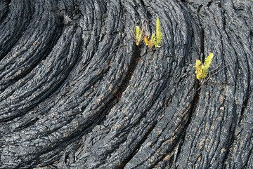 Ropy pahoehoe lava in typical texture; small ferns grow from crevasses. (Photo: Tom Pfeiffer)