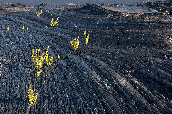 Pahoehoe lava covering an old lava channel; ferns have taken root in the small fissures. (Photo: Tom Pfeiffer)