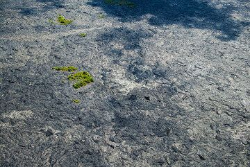Small kipukas: islands of vegetated older ground that survived the invasion of lava flows. These are important to help recolonization of the new surface. (Photo: Tom Pfeiffer)