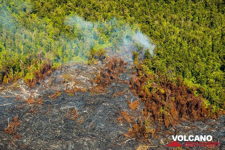 Lava flows invading forest. (Photo: Tom Pfeiffer)