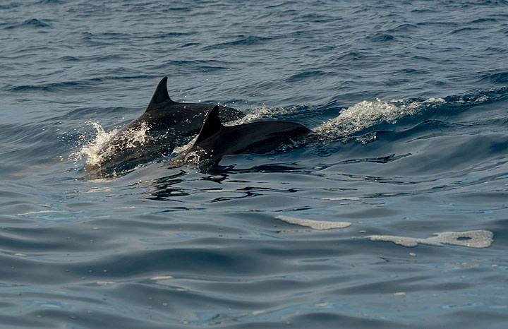 A nice surprise - a school of dolphins joins us on the way. (Photo: Tom Pfeiffer)