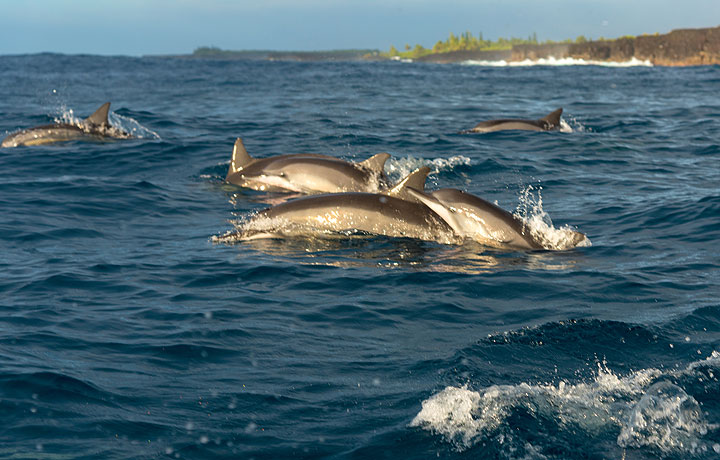 The dolphins form several groups of up to 10 individuals; we stop. (Photo: Tom Pfeiffer)