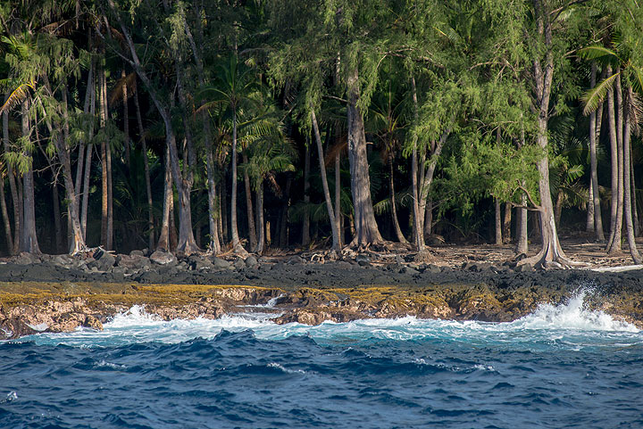 Near Pohoiki harbour on the Puna coast, the shore is only a few meters high and densely grown with coconut palms. (Photo: Tom Pfeiffer)