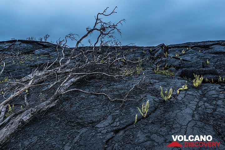 A tree had fallen onto the cooled lava after its base had burnt away. When it fell, the surface of the lava had cooled already enough not to burn it. (Photo: Tom Pfeiffer)