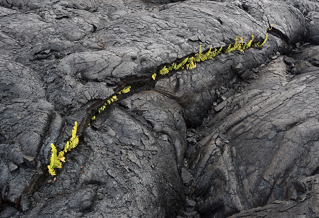 Ferns in cracks of pahoehoe lava. (Photo: Tom Pfeiffer)