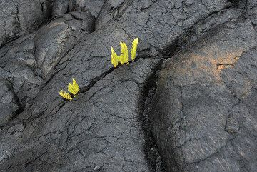 Pillow-shaped pahoehoe with small ferns. (Photo: Tom Pfeiffer)